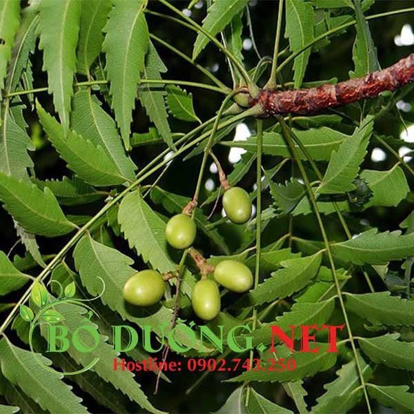cây neem Ấn Độ
